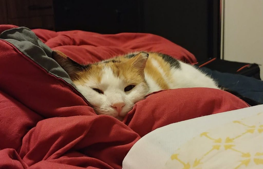 Calico cat laying on bed covers