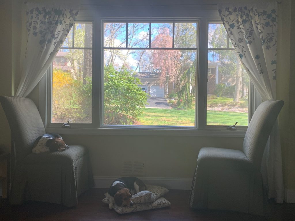 Dogs in front of a window